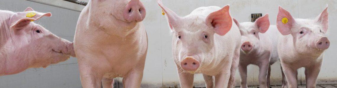 Pig-grower-finisher-TN-11398-Photo_Bart_Nijs_LR-1030x733